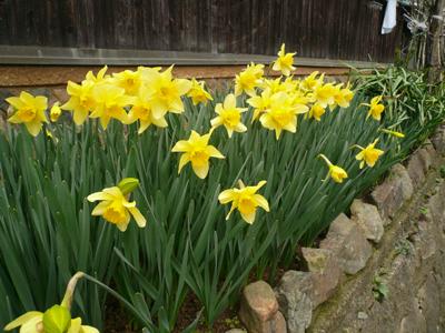 ラッパ水仙―春分の日