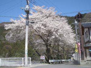 幼稚園入口のソメイヨシノ  2008/4/1  クリックすると画面が大きくなります。