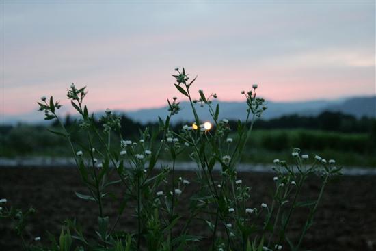 夕日と雑草