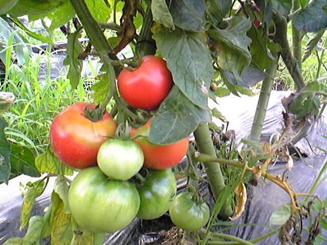 トマトが鈴なり