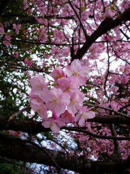 鎌倉 鶴岡八幡宮 河津桜