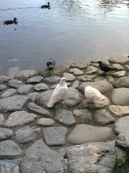 鎌倉 鶴岡八幡宮 鳩