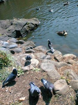 有栖川公園 鳩
