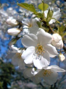 有栖川公園 桜