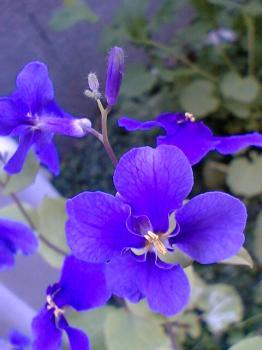 実家 大根の花