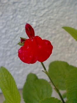 我が家 赤い花