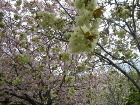 15八重桜