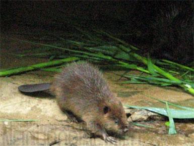 beaver4.jpg