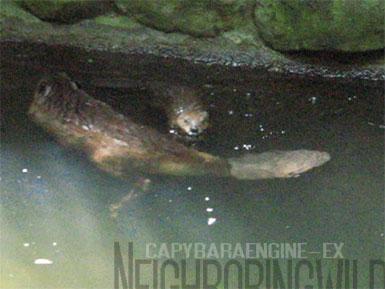 beaver6.jpg