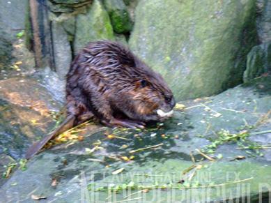 beaver8.jpg