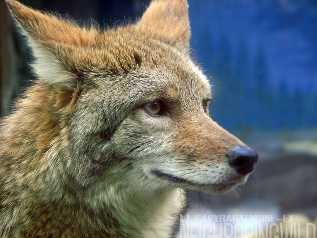 koyote1.jpg
