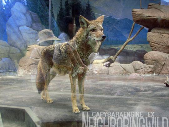 koyote2.jpg