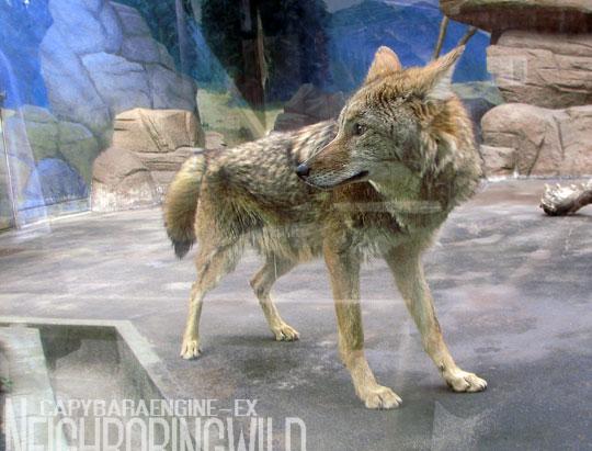 koyote3.jpg