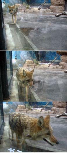 koyote4.jpg