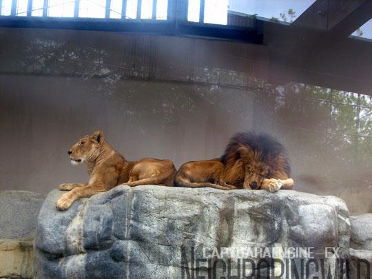 lionnormal.jpg