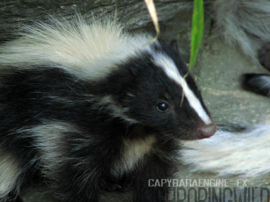 skunk5.jpg