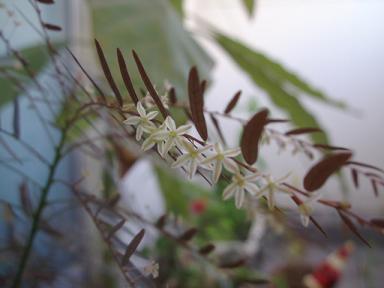 フィランツスフェアリー花