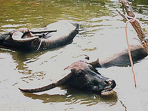石垣島水牛