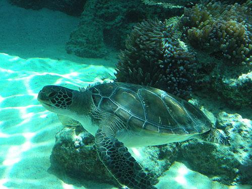 ☆美ら海水族館の海亀①