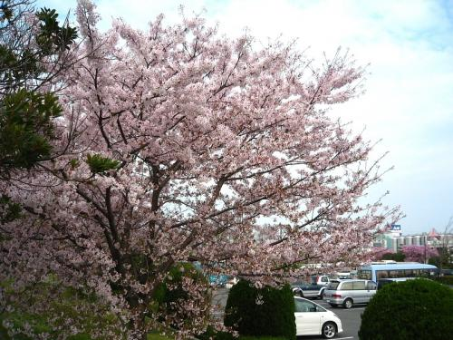 西条運動公園の桜(by IXY DIGITAL L3)