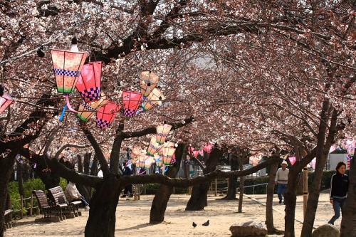 昆陽池公園の桜(by EF100-400)