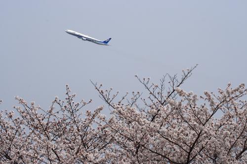 瑞ヶ池公園の桜 with ANA B777-381 NH105(by EF100-400)