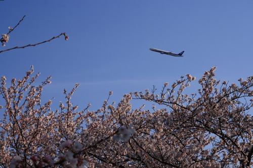 瑞ヶ池公園の桜 with ANA B777-381 NH14(by SIGMA 18-50)