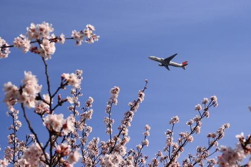 瑞ヶ池公園の桜 with JAL B777-246 JL102(by SIGMA 18-50)