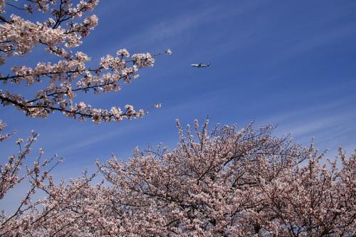 瑞ヶ池公園の桜 with ANA B767-381 NH541(by SIGMA 18-50)