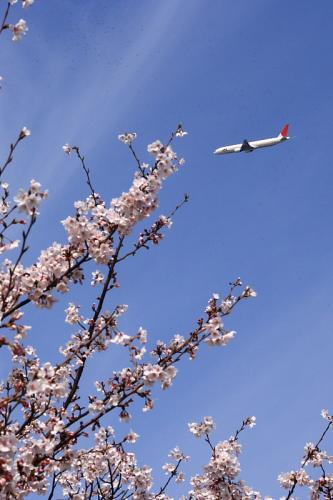 瑞ヶ池公園の桜 with JAL B777-346 JL2001(by SIGMA 18-50)