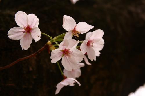 昆陽池公園の桜1(by SIGMA 18-50)