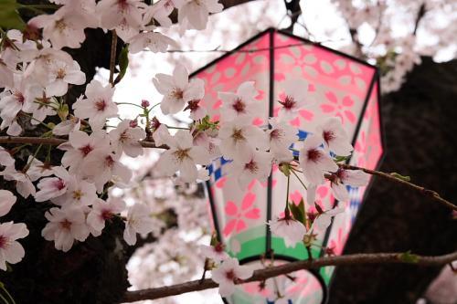 昆陽池公園の桜2(by SIGMA 18-50)