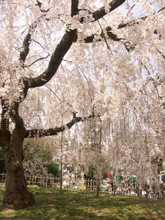 2008.4.5 京都で花見 016