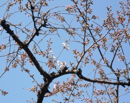桜開花1P1010538