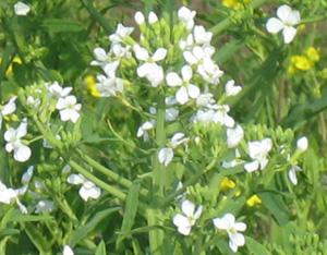 だいこんの花