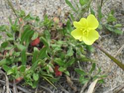 黄色い花-4