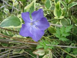 青い花-1