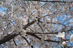 野間大池の桜1