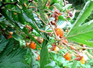 黄木苺-12
