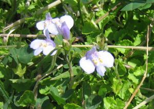 阿蘇 青い花
