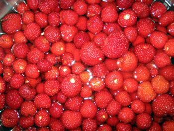 木苺収穫①