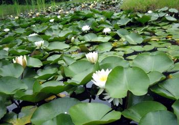 睡蓮いっぱいの池