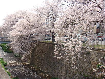 2008年 桜1