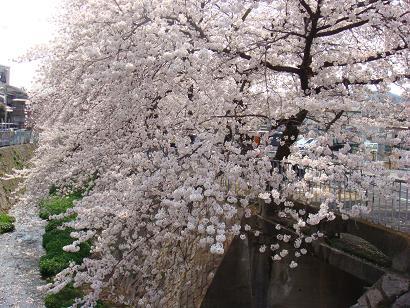 2008年 桜2