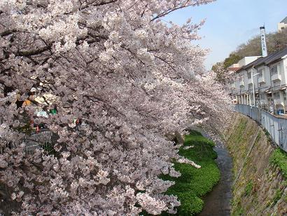 2008年 桜3