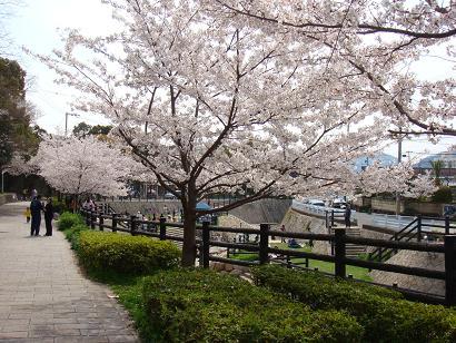 2008年 桜4