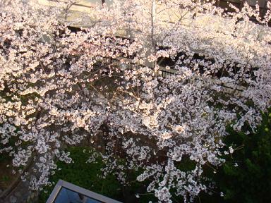 3Fからの桜