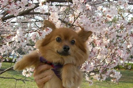 桜とあず男
