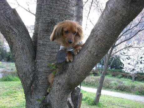 木登り金時