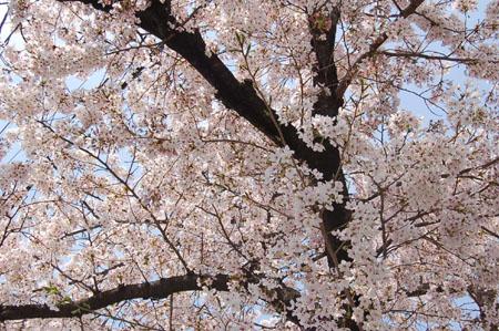 桜塚公園の桜